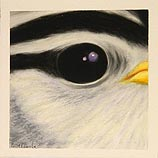 Bird: White-crowned Sparrow 5.14.99